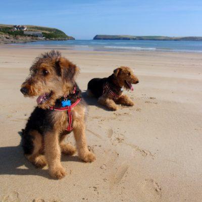 Dogs on Tregirls Beach near Padstow