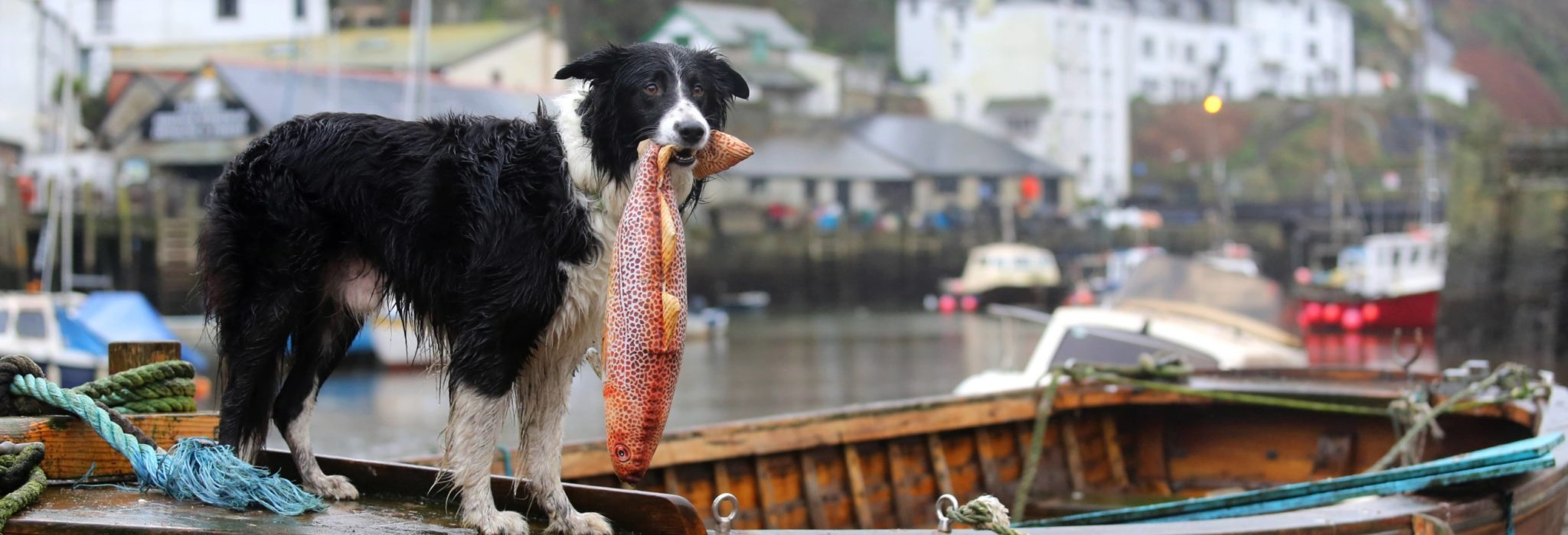 Dog catching a fish on the boats at Polperro Harbour in Cornwall
