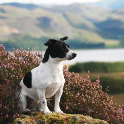 Little terrier cross posing in front of a lake