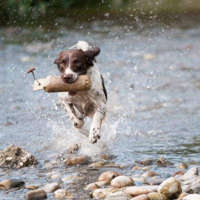 Springer spaniel running through the water with a stick in its mouth